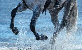 Galope cinzento da corrida do cavalo na água Pés do fim do cavalo acima imagens de stock royalty free
