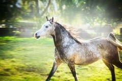 Galope cinzento do corredor do garanhão no fundo da natureza do verão ou da mola Foto de Stock Royalty Free