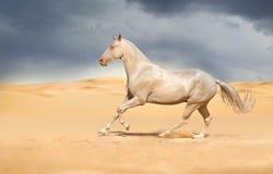 Galope da corrida do cavalo de Achal-teke imagens de stock