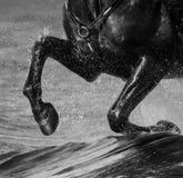 Galope da corrida do cavalo na água Os pés do fim do cavalo acima com espirram imagens de stock royalty free