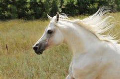Galope de la corrida del caballo blanco Imagenes de archivo