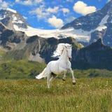 Galope de la corrida del caballo blanco Imagen de archivo libre de regalías