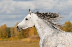 Galope de la corrida del caballo blanco en el prado Foto de archivo libre de regalías
