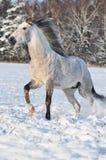 Galope de la corrida del caballo blanco en invierno Imagen de archivo libre de regalías