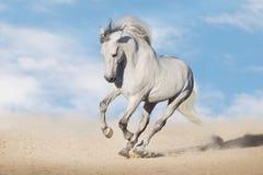 Galope de la corrida del caballo blanco fotos de archivo libres de regalías