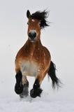 Galope de la corrida del caballo de bahía en la nieve Fotos de archivo
