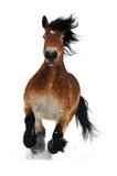 Galope de la corrida del caballo de bahía en la nieve Fotografía de archivo libre de regalías