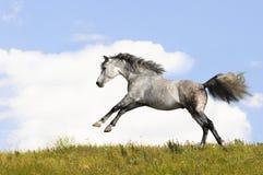 Galope de las corridas del caballo blanco Imagenes de archivo
