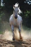 Galope de las corridas del caballo blanco Foto de archivo libre de regalías