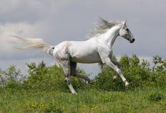 Galope de las corridas del caballo blanco Fotografía de archivo libre de regalías