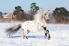 Galope de las corridas del potro del Appaloosa en invierno Fotografía de archivo libre de regalías