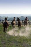 Galope de los caballos Imagen de archivo libre de regalías