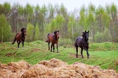 Galope de los caballos Foto de archivo libre de regalías