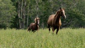 Galope de los caballos
