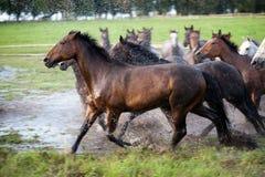 Galope de los caballos imágenes de archivo libres de regalías