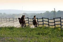 Galope de los caballos de Brown Imagenes de archivo