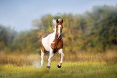 Galope de Pinto Horse fotos de stock