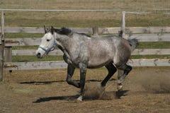 Galope del caballo Imágenes de archivo libres de regalías