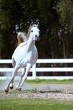 Galope del caballo blanco Imagen de archivo libre de regalías