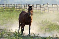 Galope del caballo de Brown Fotos de archivo libres de regalías