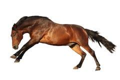Galope del caballo de Brown aislado en blanco Imágenes de archivo libres de regalías