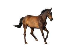 Galope del caballo del deporte de la bahía aislado en blanco Foto de archivo libre de regalías