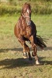 Galope del caballo potente libremente en frontal del prado Imagen de archivo libre de regalías