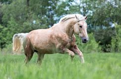 Galope del funcionamiento del caballo del Palomino en un prado Imagenes de archivo