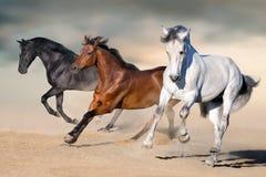 Galope del funcionamiento de los caballos Imagen de archivo libre de regalías