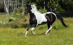Galope do cavalo do animal malhado Imagem de Stock Royalty Free