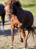 Galope do cavalo poderoso livre no frontal do prado Fotos de Stock Royalty Free