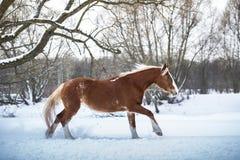 Galope do corredor do cavalo de baía na floresta do inverno Imagem de Stock Royalty Free