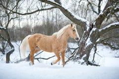 Galope do corredor do cavalo de Yelloy na floresta do inverno Fotografia de Stock Royalty Free