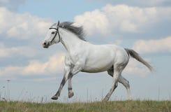 Galope do corredor do cavalo Fotografia de Stock Royalty Free