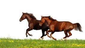 Galope dos cavalos Fotos de Stock Royalty Free