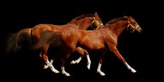 Galope dos cavalos do Sorrel Imagem de Stock Royalty Free