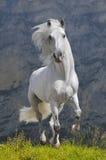 Galope dos funcionamentos do cavalo branco fotografia de stock