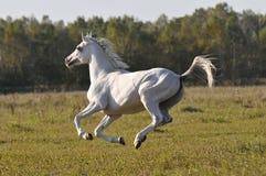 Galope dos funcionamentos do cavalo branco foto de stock royalty free