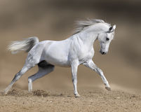 Galope dos funcionamentos do garanhão do cavalo branco na poeira