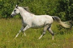 Galope femenino del funcionamiento del caballo blanco salvaje Fotografía de archivo