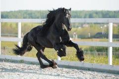 Galope frisio negro de los funcionamientos del caballo en verano Imagen de archivo libre de regalías