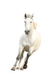 Galope hermoso blanco del caballo aislado en blanco Fotos de archivo libres de regalías