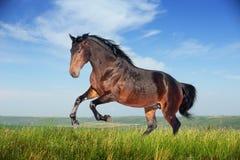 Galope marrom bonito do corredor do cavalo Imagem de Stock