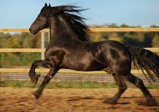 Galope negro frisio del caballo fotografía de archivo libre de regalías