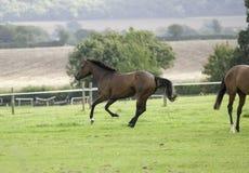 Galope oscuro hermoso del caballo de bahía Imagen de archivo libre de regalías
