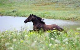 Galope preto do corredor do cavalo selvagem no campo Imagens de Stock