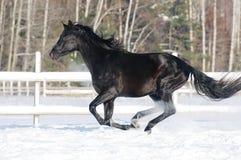 Galope preto dos funcionamentos do cavalo no inverno fotografia de stock royalty free
