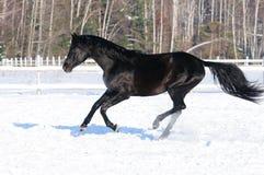Galope preto dos funcionamentos do cavalo no tempo de inverno fotografia de stock