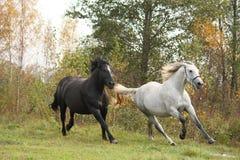 Galope preto e branco do cavalo Foto de Stock Royalty Free