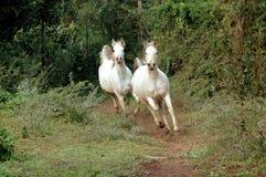 Galope árabe dos cavalos Fotografia de Stock